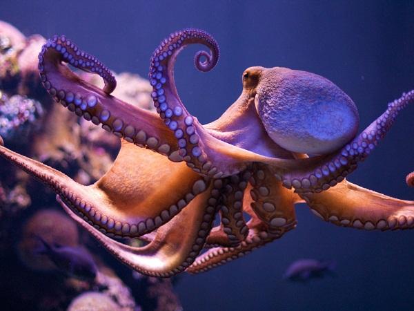 Mơ thấy bạch tuộc là điềm báo lành hay dữ?